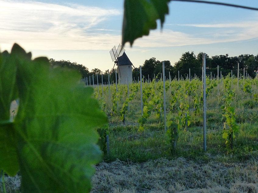 vignes et moulin.jpg
