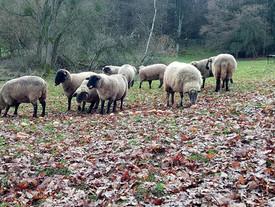 Ein sonniges - wenn auch kaltes - Wochenende wünschen euch unsere Schafe in der Eifel ❤️