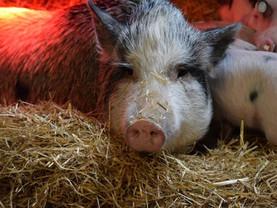Rettung einer Minischweinfamilie ❤️