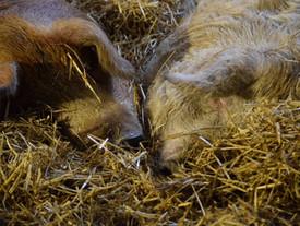 Abendliche Romantik bei unseren Schweinen ❤️