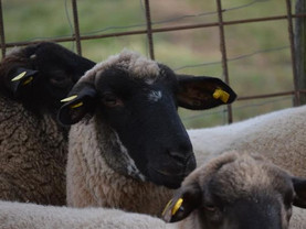 Unsere Schafe in der Eifel ❤️