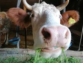 Kuh (428) braucht dringend Hilfe! ❤️