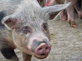 Auch unsere Schweine wünschen Euch einen schönen Muttertag ❤️