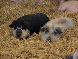 Polly und Gisberth, unser süßes Wollschweinpaar ❤️