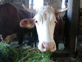 Kuh (192) braucht dringend Hilfe! ❤️