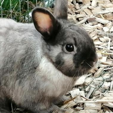 männliches Kaninchen 1