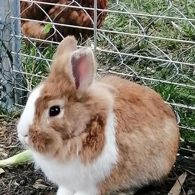 männliches Kaninchen 2