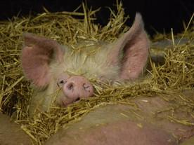 Guten Morgen liebe Schweinefans ❤️