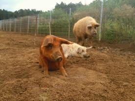 Unsere große Wollschweinfamilie in Schwaben ❤️