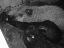 Unsere Wollschweinfamilie - Aller Anfang ist schwer ❤️