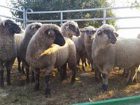 Eine kleine Schafsherde in ihrem neuen Leben!