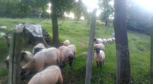 Ein kleiner Blick auf unseren Schafe-Ziegen-Pflegeplatz in der Eifel ❤️