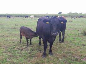 15 unserer Rinder haben 15 gesunde Kälber zur Welt gebracht!