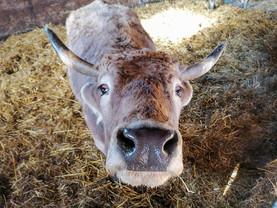 Unsere Rinder Fulda 2 ❤️