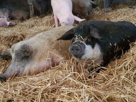 Unsere Schweinehippies suchen Paten ❤️