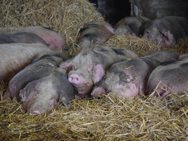 Unsere Schweine wünschen Euch einen schönen Wochenstart ❤️