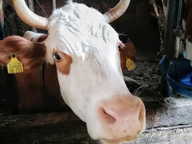 Kuh (755) braucht dringend Hilfe!❤️