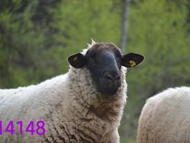 Dieser hübsche Schafpapa sucht noch liebe Paten ❤️