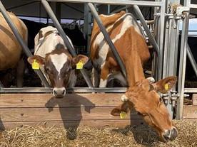 Kurzes Update zu unseren dünnen Kühen und ihren Kindern❤️