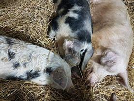 Schweine haben einen starken Familienzusammenhalt ❤️