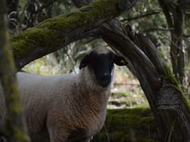 Unsere Schafe und Ziegen in der Eifel ❤️