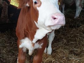 Der Maintower berichtet über die aktuelle Rettung der Milchkühe/Färsen, es ist der Hof von dem auch