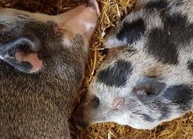 Unsere Minischweine ❤️