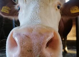 Kuh (547) braucht dringend Hilfe! ❤️