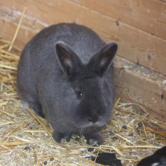 weibliches Kaninchen 1