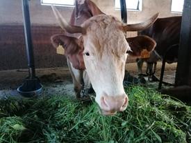 Kuh (244) braucht dringend Hilfe! ❤️