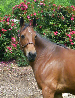 Available In-Utero - Warmblood Pony