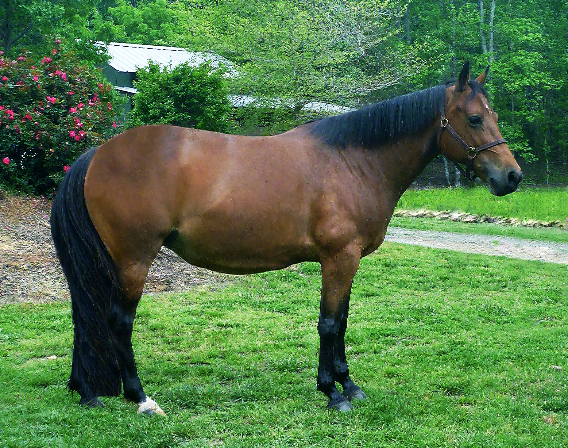 Available In-Utero - Warmblood Pony