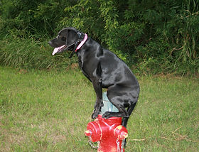 Trained Family And Companion Dogs For Sale Trained Dogs For