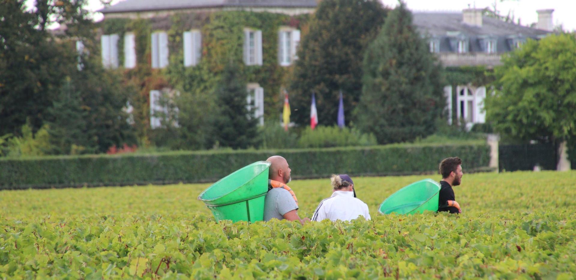 Grape Picking - Chateau Talbot