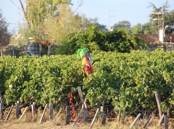 Snow White's Friend in the Vines - Marathon du Medoc