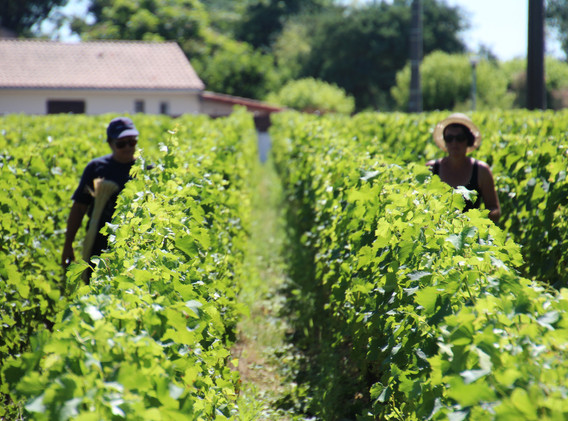 Chateau Lynch Bages - Vine Workers