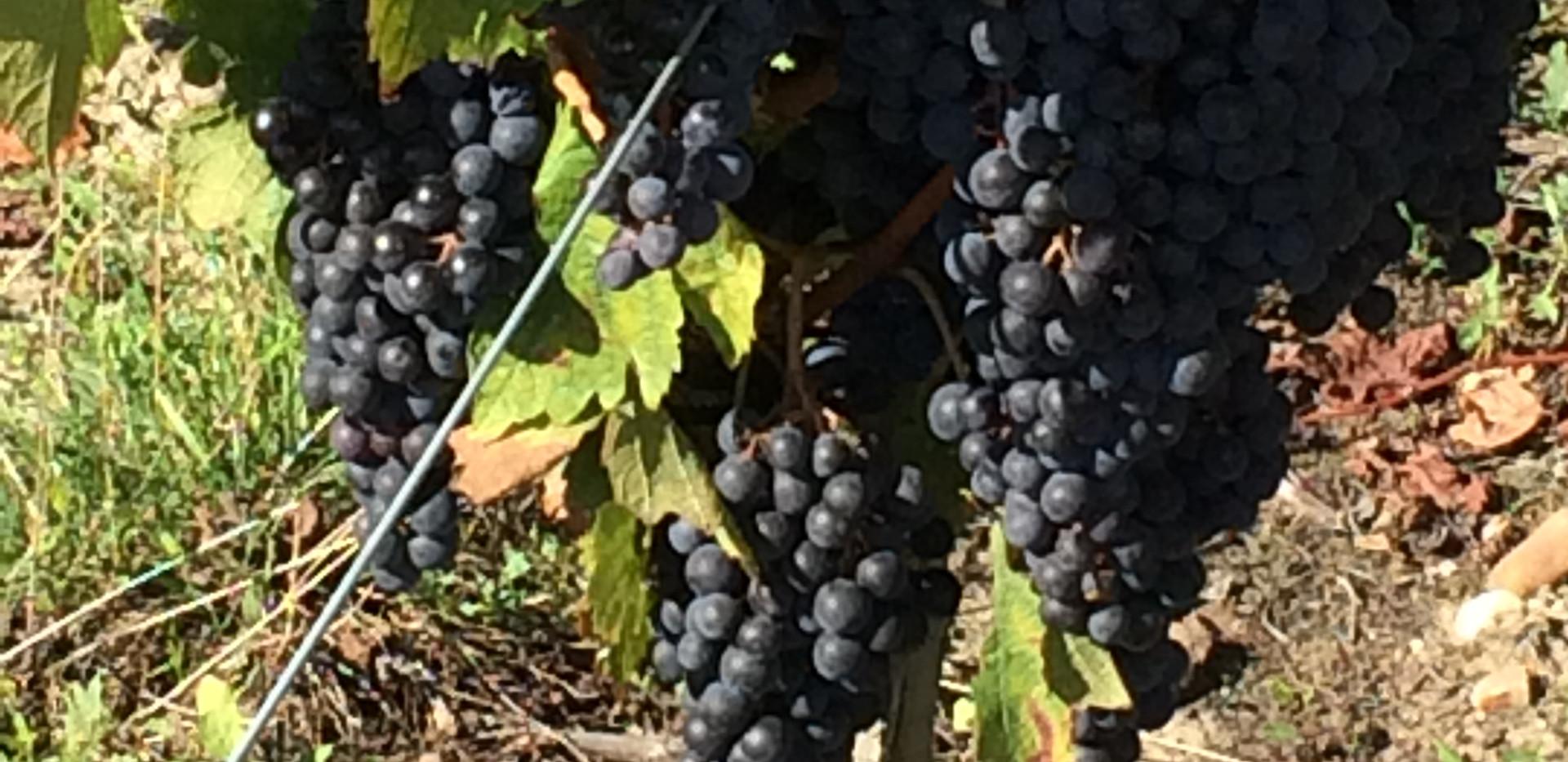 Pauillac Grapes