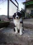 chiens-Berger-Australien-5513b1c0-79d6-6