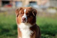 chiens-Berger-Australien-d161912f-10b4-3