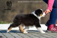 chiens-Berger-Australien-c3283809-2736-e