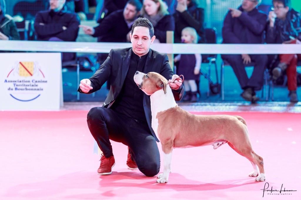 chiens-American-Staffordshire-Terrier-b6