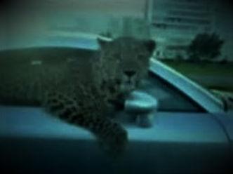 leopardVignette.jpg