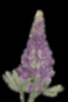 lupine_illu_neuversuch_GERINGERE_AUFL%C3