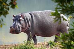 hippo-3647749_640.jpg