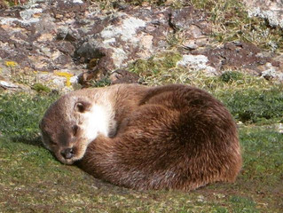 Otter watching in Shetland