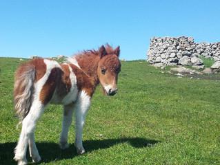 Shetland pony foals
