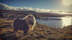 Shetland pony Burra