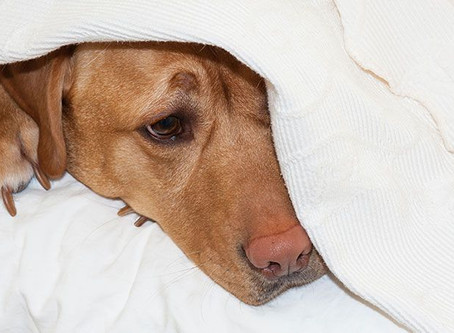 Help Dogs Suffering from Pain