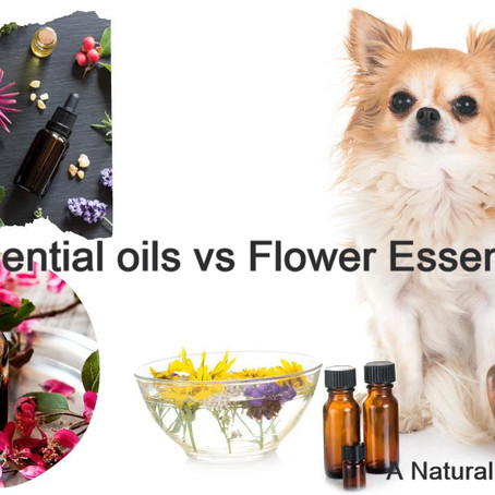 Differences between Flower Essence and Essential Oils and Benefits to Dogs