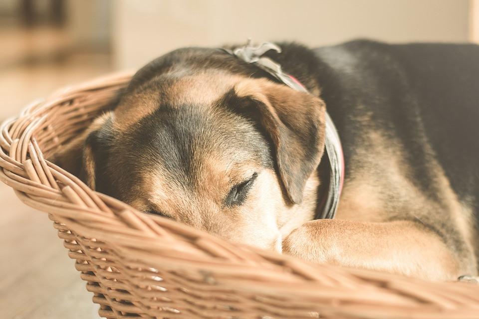 integratori-cane-anziano